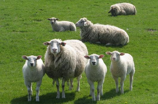 发酵床养羊简介