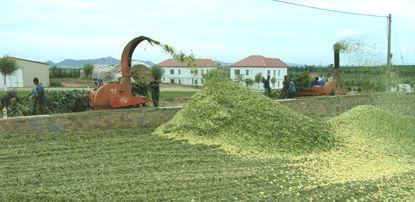 青贮发酵成饲料的全过程