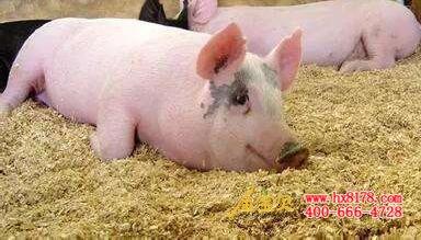 动物 猪 384_219