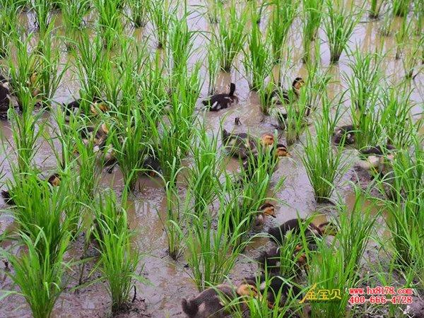 稻田养鸭使用干撒式发酵床需注意的几点问题图片