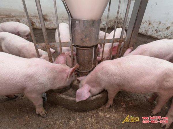 发酵饲料喂猪
