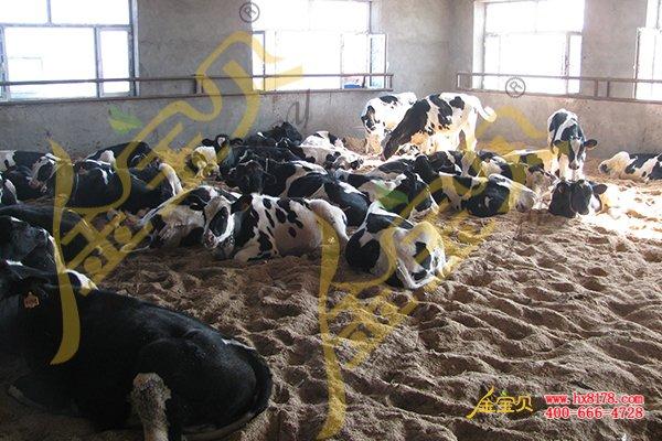 发酵床养牛