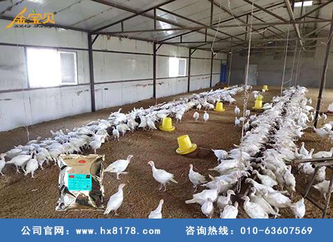 东北发酵新手V5床养鸡效果