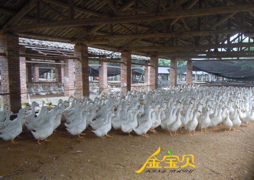 干撒式发酵床养殖樱桃谷鸭在重庆试用成功